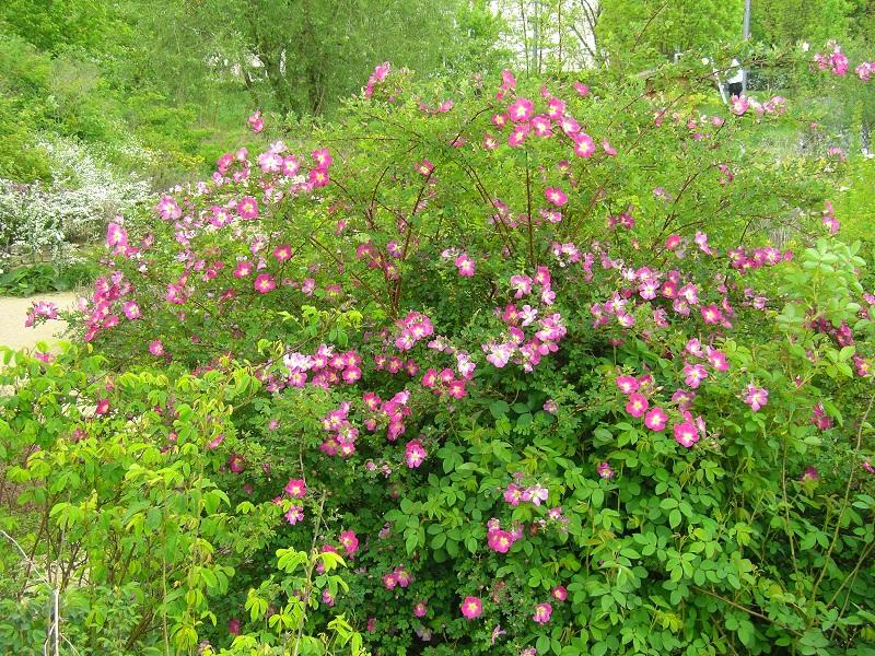 Bibernellrose 'Latifolia' (Rosa pimpinellifolia 'Latifolia')