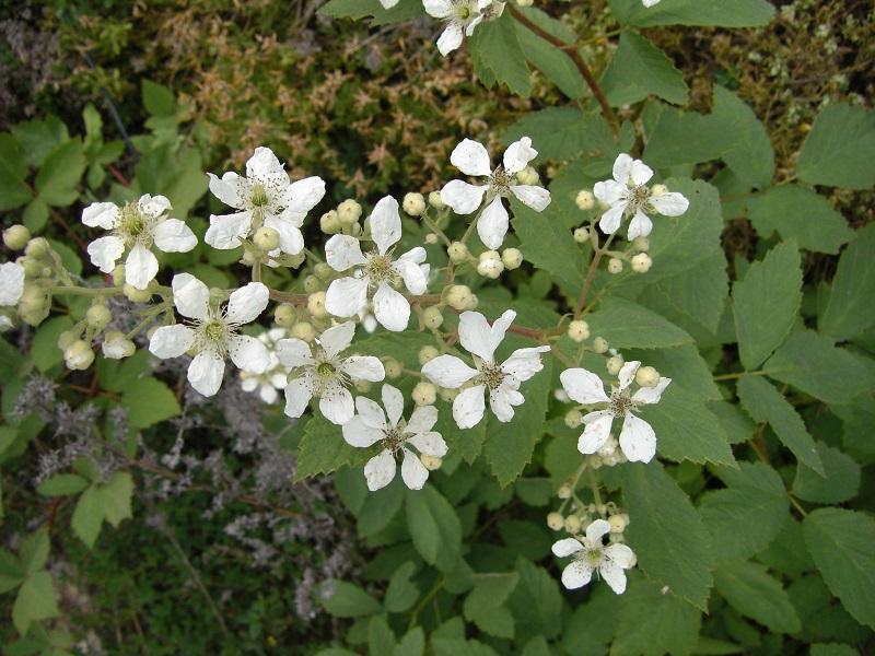Filz-Brombeer (Rubus canescens)