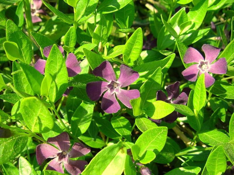 Vinca minor 'Rubra' (Violettblühendes Immergrün)