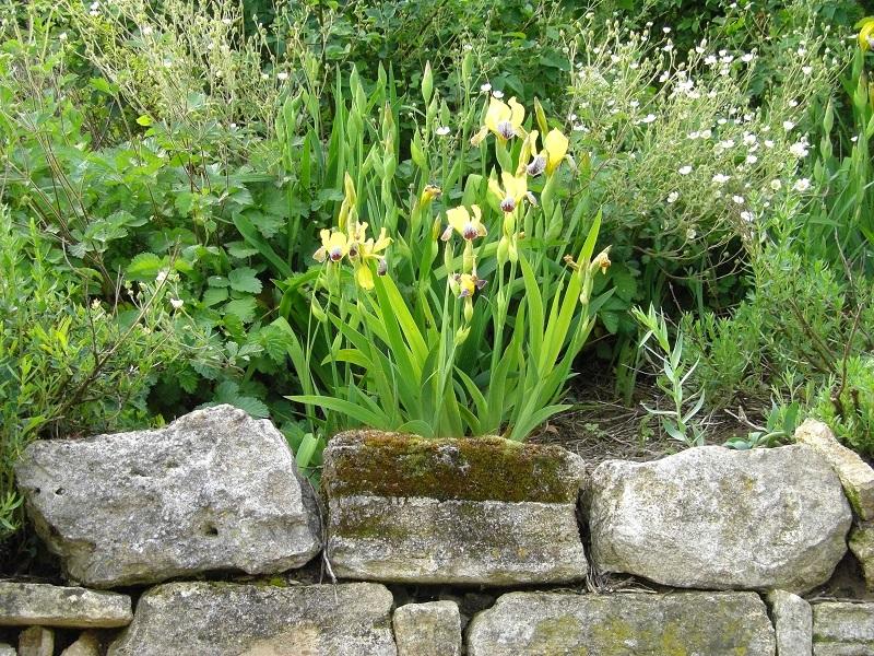 Bunter Schwerte (Iris variegata)