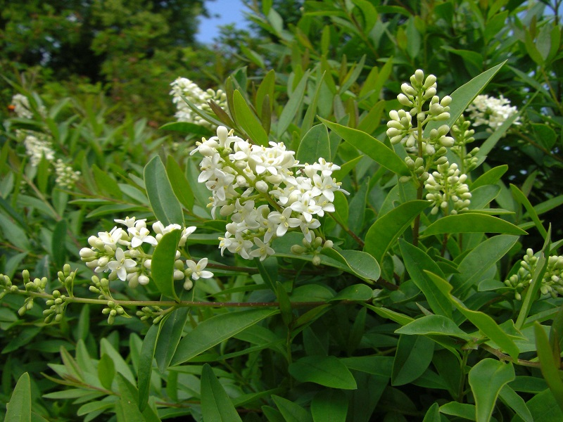 Zwerg-Rainweide (Ligustrum vulgare 'Lodense' )