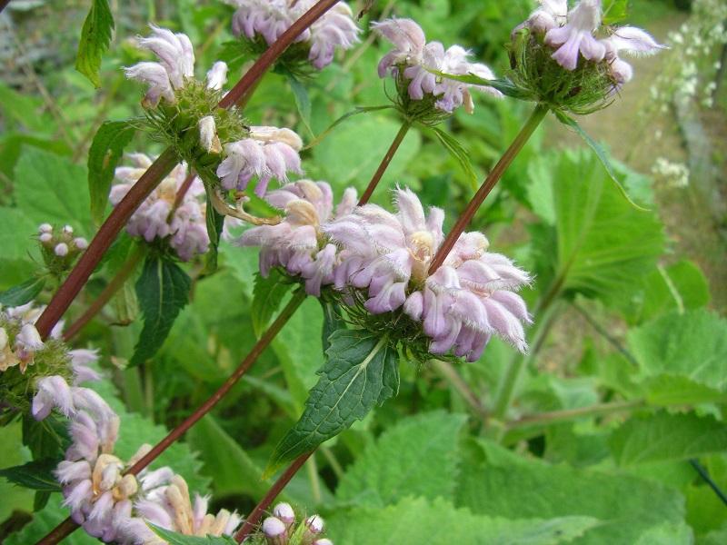 Knolliges Brandkraut (Phlomis tuberosa)