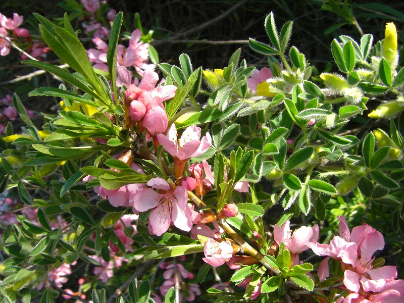 Zwergmandel (Prunus tenella)