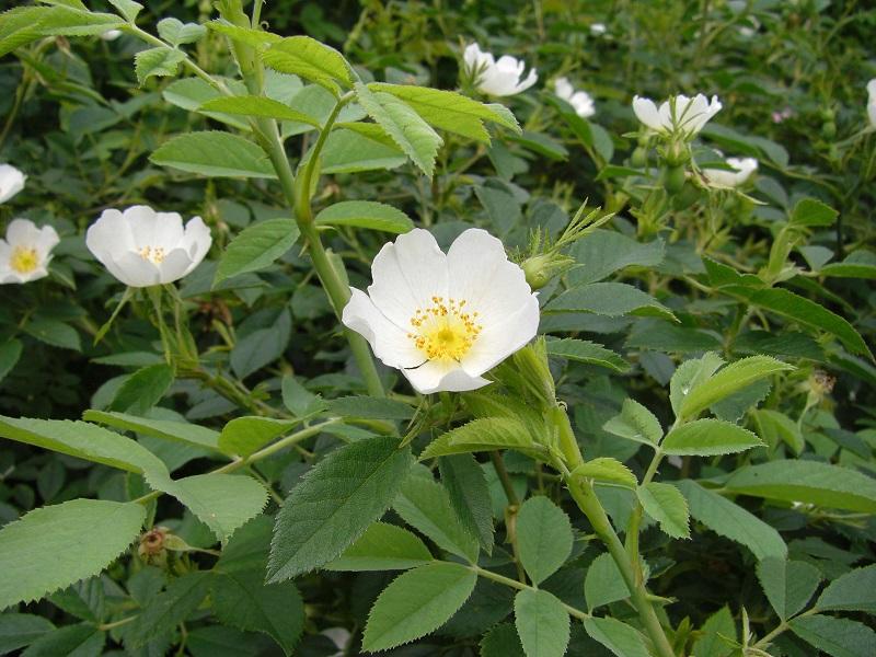 Acker-Rose (Rosa agrestis)