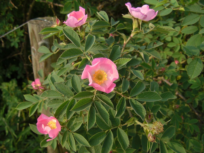 Rosa mollis (Weichblättrige Rose)
