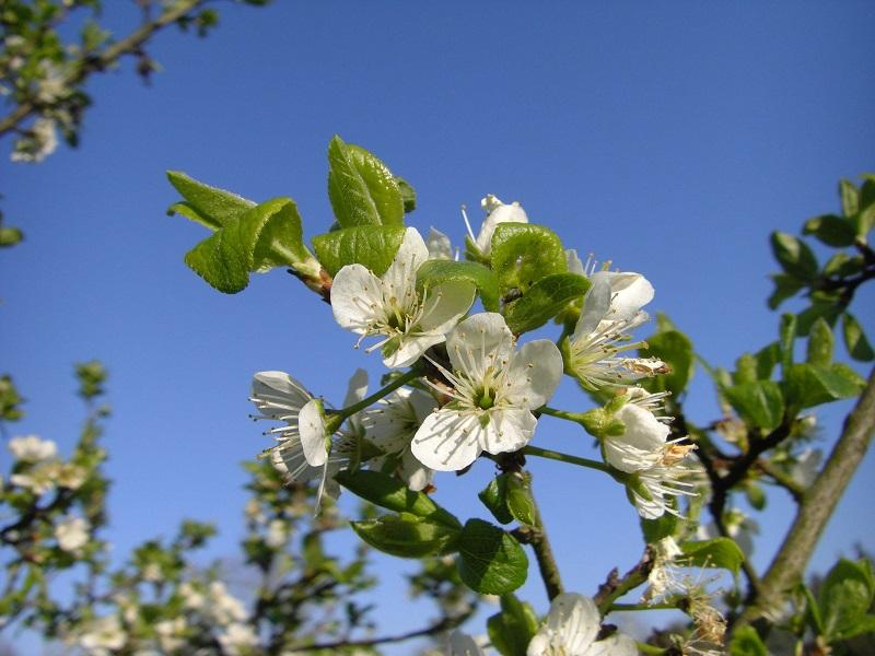 Ziparte (Prunus insititia ssp. prisca), s.a. Titelbild