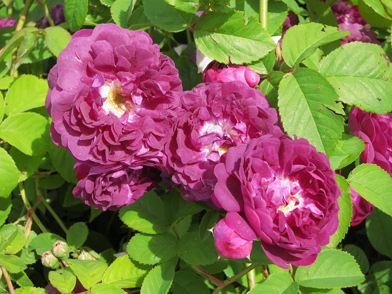 Rosa centifolia à fleurs doubles violettes