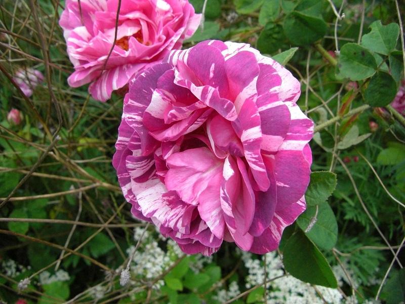 Rosa gallica camaieux