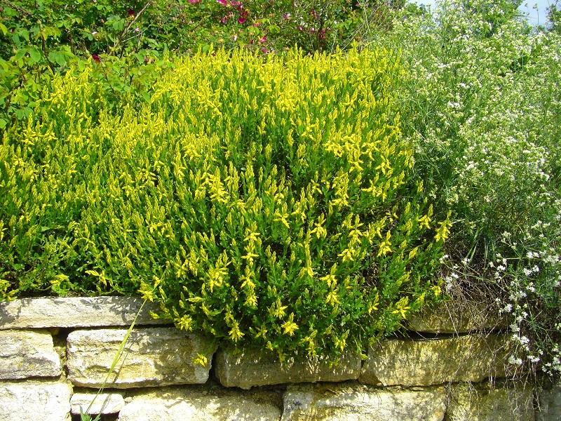 Deutsche Ginster (Genista germanica)