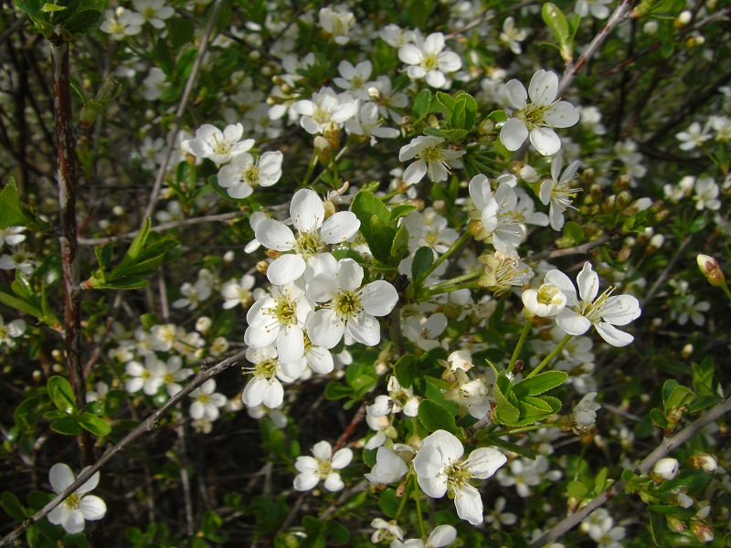 Zwergweichsel 'Fruchtzwerg (Prunus fruticosa 'Fruchtzwerg' )