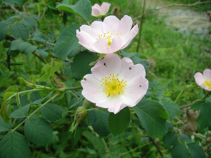 Rauhblättrige Rose (Rosa jundzillii var. aliothii, Sämling)