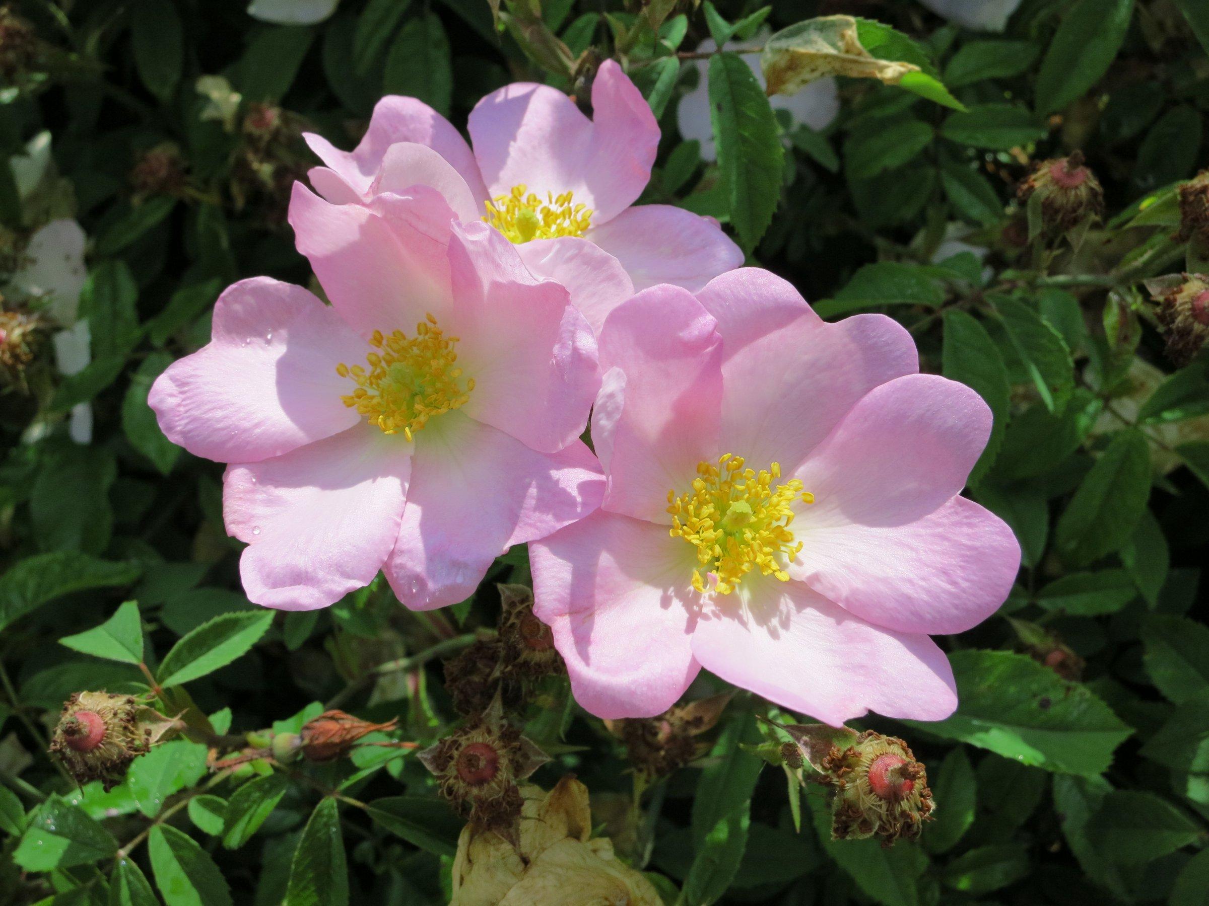 Rosa x polliniana. (Blassrote Kriechrose)