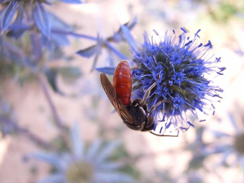 vermutlich: Blutbiene (Sphecodes albilabris) auf Mannstreu (Eryngium), einer Edeldistel