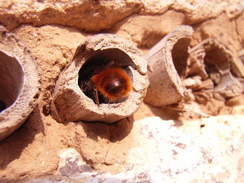 Mauerbiene  und Kinderstube
