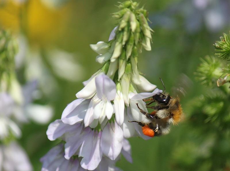 Wildbiene mit Pollenpaket