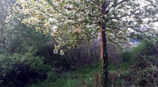 Traubenkirsche (Prunus padus) im Naturschaugarten Lindenmühle