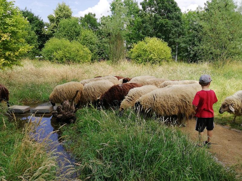 Schafe im Naturschaugarten Lindenmühle in Mainz
