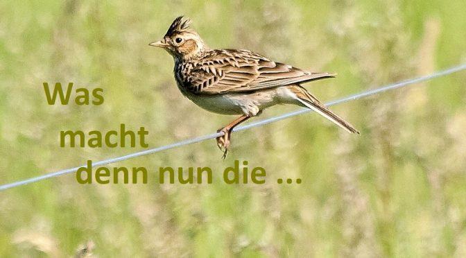 Feldlerche, Vogel des Jahres 2019