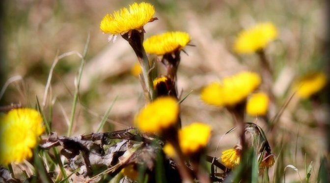 """""""Frühling"""" sagt der Huflattich"""