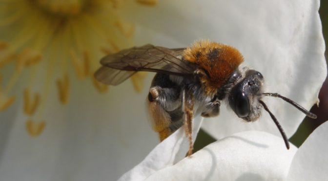 Das Bild zeigt eine Biene auf einer Biebernell-Rose.