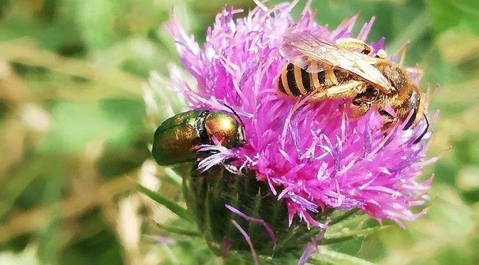 Auf der Kratzdistel landen viele Insekten.