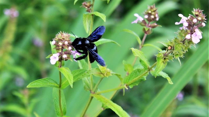 Ein seltener Gast am Sumpfziest: die Holzbiene