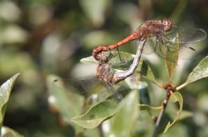 Libellen beim Paarungsrad