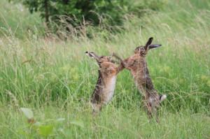 Revierkämpfe von Feldhasenmännchen